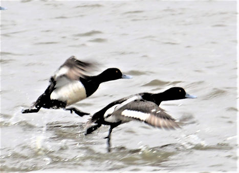 LES SCAUP TAKING OFF 2 (2).JPG