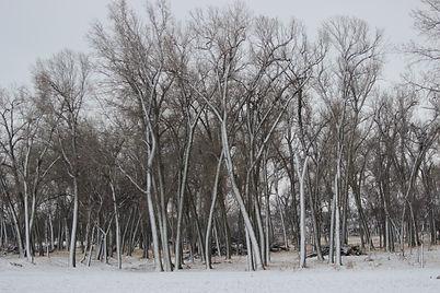 BLIZZARD TREES.JPG