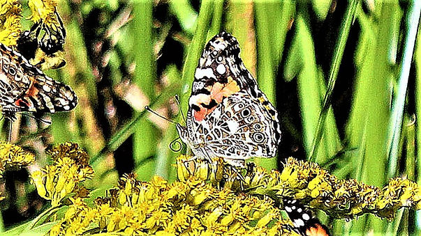 Hind wing, painted lady-2 (4).jpg