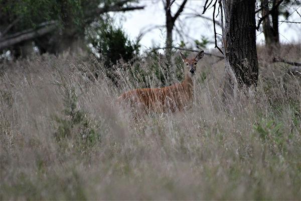 Young Deer 1.JPG