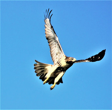 RED TAIL FLY WOW.JPG
