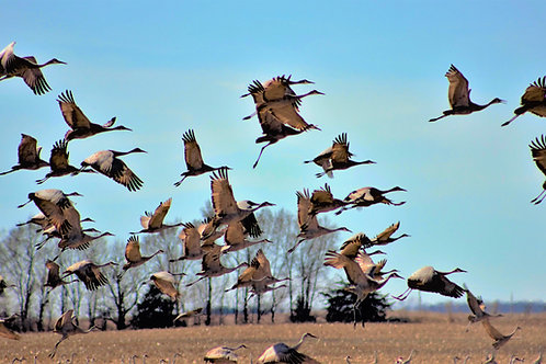 """SANDHILL CRANES-16"""" X 20"""" PHOTOGRAPH ON CANVAS, GALLERY WRAPPED"""