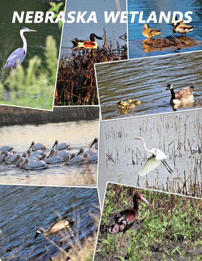Here is a collage of waterfowl photographs taken in Nebraska Wetlands.  They are photographs of a Gr