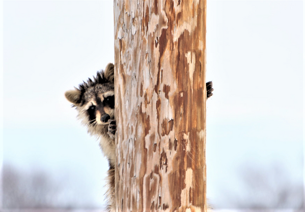 RACCOON ON POST.png