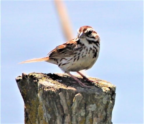 Song Sparrow 1.JPG