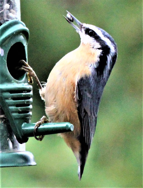 RED-BREASTED NUTHATCH 1 (2).JPG
