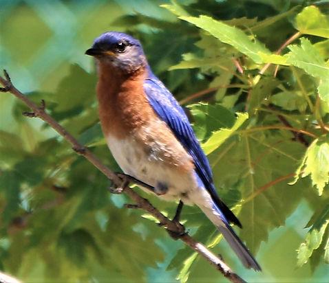 BLUEBIRD 1.JPG