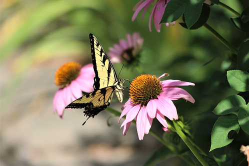 """SWALLOWTAIL BUTTERFLY-11"""" X 14"""" PHOTOGRAPH ON METAL"""
