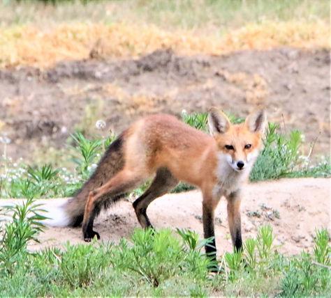 FOX 3.JPG