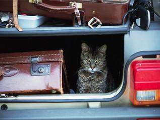 Cómo viajar con su gatito (o dejarlo en casa si es necesario)