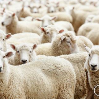 Rebanho de Ovelhas Merino