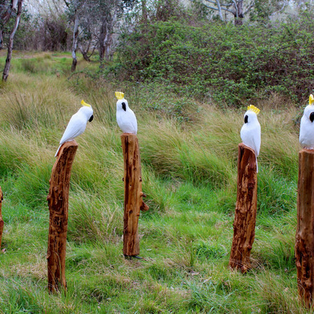 Cockatoos, Honey Pine, Australia