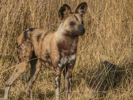 Hyena v Wild Dog: The showdown