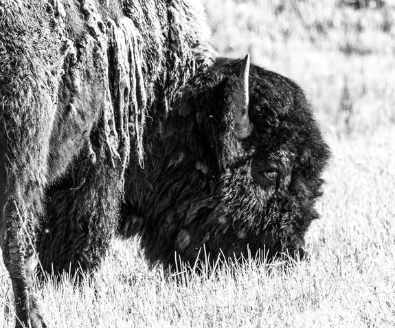 Bison-5.jpg