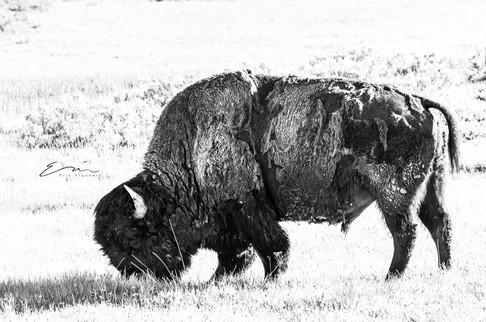 Bison-6.jpg