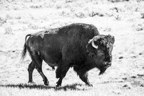 Bison-4.jpg