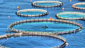 Aquaculture: The Answer to Our Hunger For Fish?