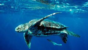 Leatherback: The Ocean Giants