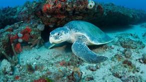 Kemp Ridley: The Rarest Turtle