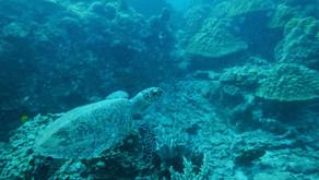 Hawksbill Turtle: The Sponge Eaters