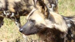 Africa's Wandering Painted Dogs