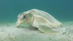 Flatback: Australia's Turtle