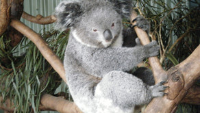 Too Much to Handle for Koalas ?