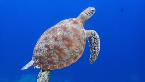 Green Sea Turtle: The Grass Eaters
