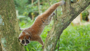 Slow Loris Quickly Disappearing