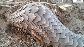 Kung Fu Pangolin: Fighting for Their Lives