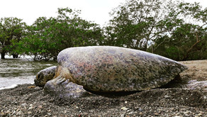 Nicki Wheeler, The Latin American Sea Turtle Association