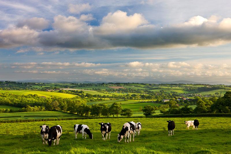 G11299AB-W-Devon-Cows