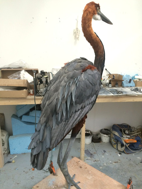 Goliath heron. Model make with real feathers for MDM props.