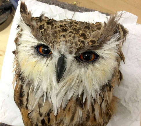 The Pharaoh Eagle Owel. Taxidermy