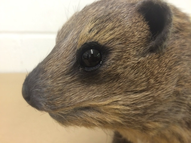 Detail of model Hyrax make with real fur for MDM