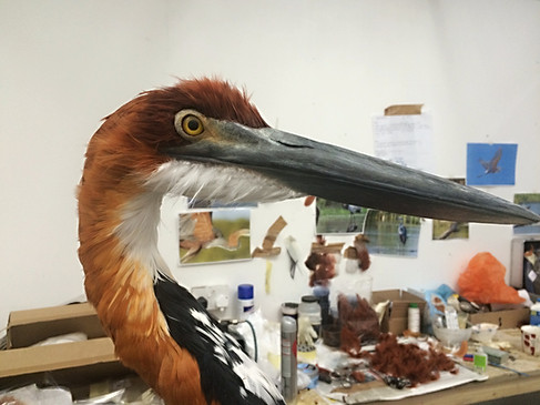 Deatail of Goliath heron. Model make with real feathers for MDM props.