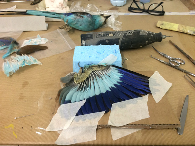 The Abyssinian blue roller, Taxidermy