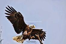 eagle - Copy-3.jpg