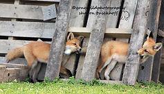 fox-1.jpg