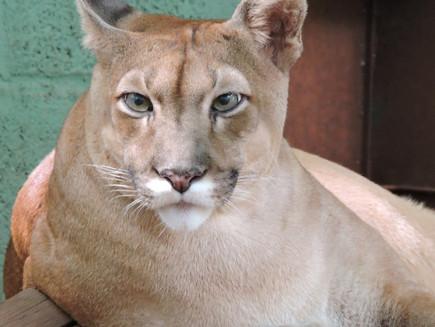Zoo de Guaíra: Onça parda passa por tratamento por conta de suspeita de câncer