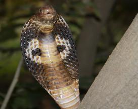 Spectcle Cobra