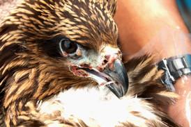 Avian Pox Black Kite