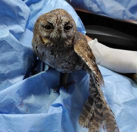 Pallid Scopes Owl
