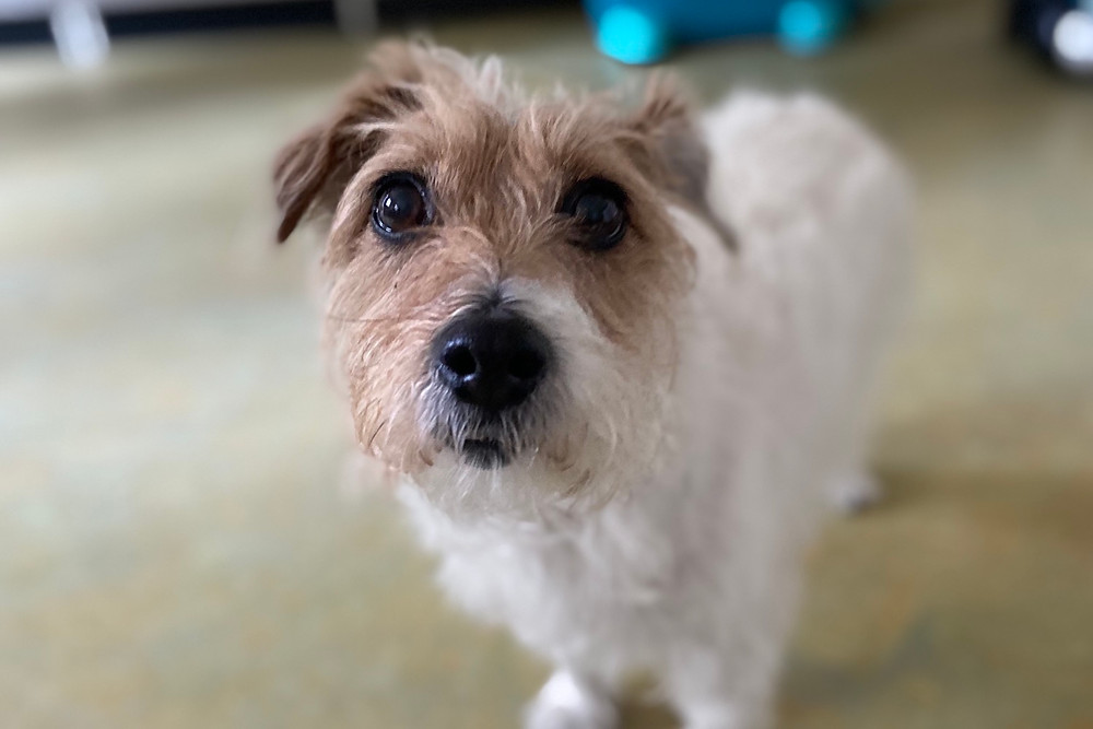 Jack Russell Terrier Polly