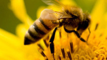 Protecting and Supporting our Honey Bees and other Pollinators