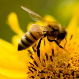 Honey_bee_pollinator.jpg