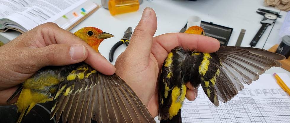 Hatch-year and after hatch-year male Western Tanagers.