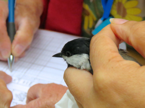 Black-capped chickadees are captured frequently during the PSBO banding course in Edmonds.