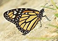 insectos beneficiosos, ecología urbana, ciencia ciudadana, mariposas del gran chicó