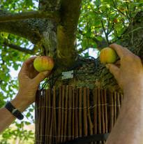 Zwei verschiedene Apfelsorten an einem Baum.